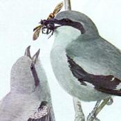 Fuertes' Shrikes
