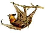 Hanging Fox Bat
