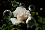 White Rose And Bubbles