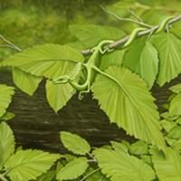River Birch Leaf Dragon
