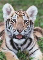 Tiger Merchandise