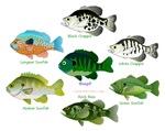 7 Sunfish