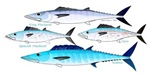 4 Atlantic Mackerels