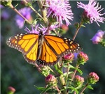 Summer Monarch on Purple Milkweed