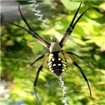 Garden Spider Awaits
