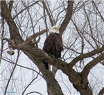Winter Maple Island Bald Eagle