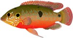 African Jewelfish