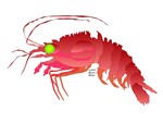 Deep Sea Red Shrimp