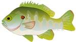 Redear Sunfish Shellcracker