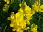 Yellow Brush Flowers (Zoom In!)