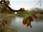 Red Maple Seed Pods