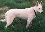 The White German Shepherd Dog