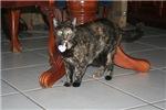 Tortoishell Cat 2