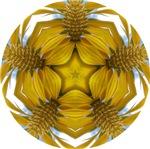 Sunflower Star