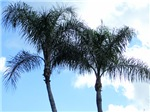Palm Trees of Florida