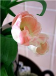 Pink Tulips And Tiles Photo