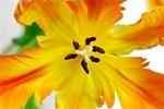 Tulip: Macro Image