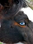 Horses: Blue Eyes
