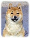 Shiba Inu 9T060D-037