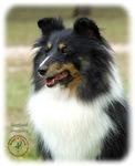 Shetland Sheepdog 9J090D-04