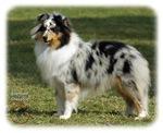 Shetland Sheepdog 9J089D-04