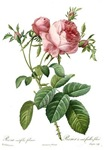Lovely vintage pink rose flowers by Redoute