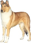 The Smooth Collie