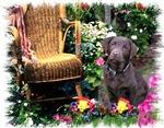 Chocolate Labrador Retriever Gifts of Art