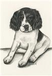 Jemma - Baby Springer Spaniel