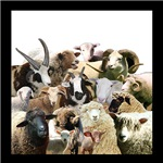Rare Breed Sheep Collage