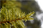 Leafy Moss