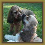 Kissing Cockers - Simon & Samantha