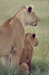 Lions Mother's Day