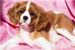 Puppy Cavalier King Charles Spaniel
