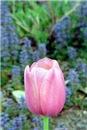Pink Tulip in the Fairy Dog Garden