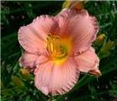 My Melinda Pink Daylily