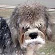 Snow Dandie Dinmont