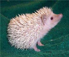 Beron the Hedgehog