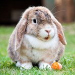 Long Eared Bunny And Carrots