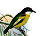 Yellow Tody Flycatcher