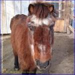 Bobby the Shetland Pony