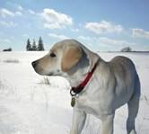 Labrador Retriever Shop