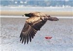 Juvenile Bald Eagle Flying By Low