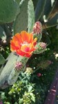 Prickly Pear Cactus Flower