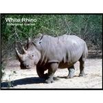 White Rhino Rhinoceros Photo