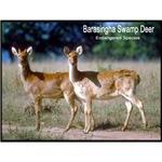 Swamp Deer Photo