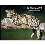 Clouded Leopard Photo
