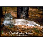 Florida Panther Cougar Photo
