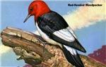 Red-Headed Woodpecker Bird