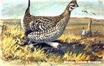Sharp-Tailed Grouse Bird